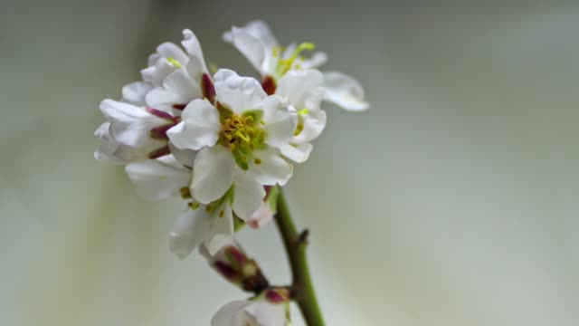 several almond flowers on a twig bloom simultaneously on a light background - stame video stock e b–roll