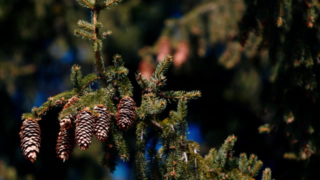 Several cones on spruce video