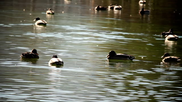 Several ducks swimming in the middle of lake video