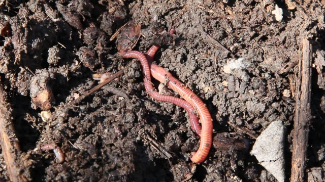 Several earthworms close-up