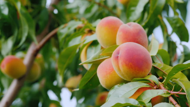 Several juicy peaches ripen on a tree video