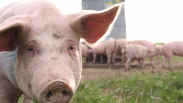 einige schweine genießen ihren große territorium - schwein stock-videos und b-roll-filmmaterial