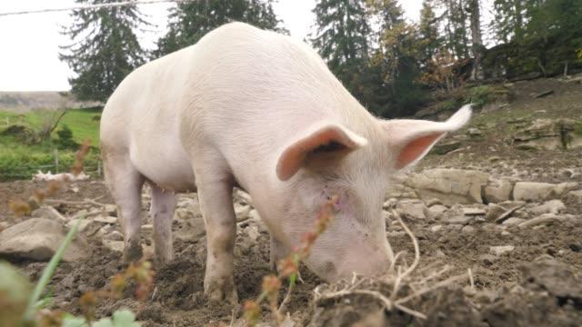 free Pig video sex clip