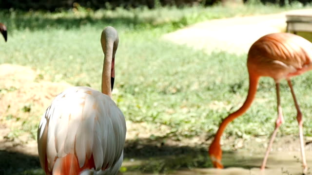 Several pink and orange flamingoes walk along a lake bank in summer in slo-mo video