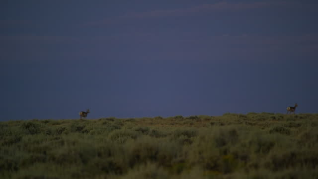 Several Pronghorn Antelope Run along a Grassy Hill's Ridge from a Distance at Dusk