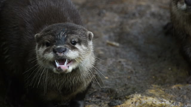 Several river otters run and scream on rocks video