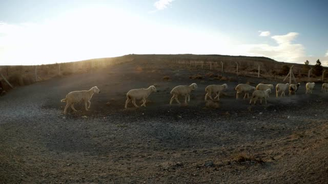 several sheep are wandering along the deserted terrain past the wire fence leaving to the horizon - mandriano video stock e b–roll