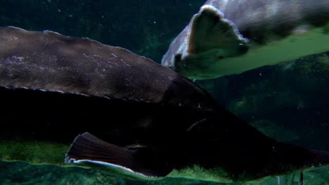 flera sturgeons flyter under vatten fullhd närbild skott - iktyologi bildbanksvideor och videomaterial från bakom kulisserna