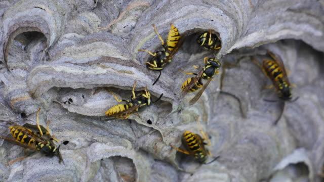 einige wespen nestbau schließen - wespe stock-videos und b-roll-filmmaterial