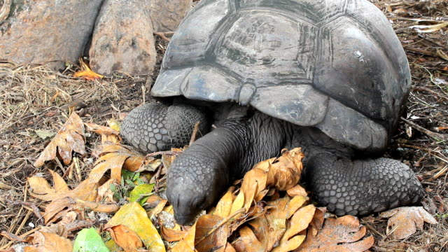 Seychelles Giant Tortoise feeding Some of the largest tortoises in the world are to be found in the Seychelles. These are the world's oldest known animals, some living to 200 years old. giant tortoise stock videos & royalty-free footage