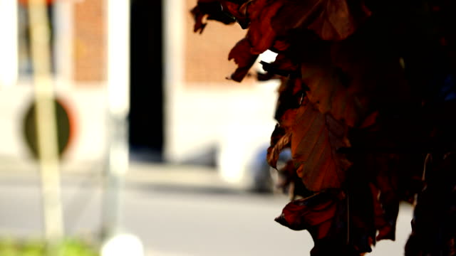 shabby autumn leaves of red color swaying in the wind