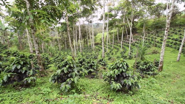 Shade-grown organic coffee plantation video