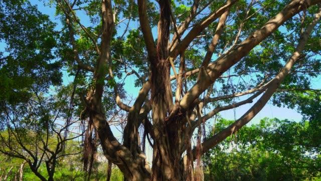vidéos et rushes de ombres sous des branches énormes avec des feuilles - racine partie d'une plante
