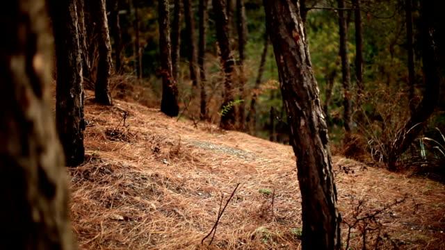kamera zu schütteln und zu fuß in den kiefernwald - himachal pradesh stock-videos und b-roll-filmmaterial