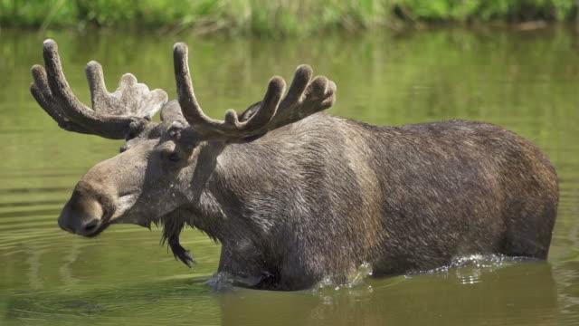 zeitlupe: schütteln moose - elch stock-videos und b-roll-filmmaterial