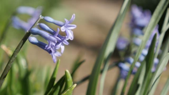 Shallow DOF fragrant flowering Hyacinth purple plant 4K