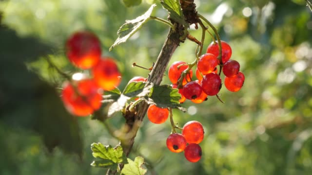 shallow dof healthy ribes rubrum plant 4k 2160p 30fps ultrahd footage - the deciduous shrub redcurrant berries fruit close-up 3840x2160 uhd video - ribes rosso video stock e b–roll