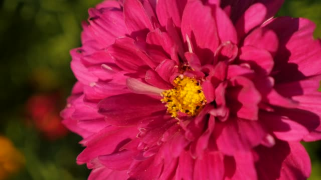 Shallow DOF lighted Cosmos bipinnatus Double Cranberry flower violet color 4K