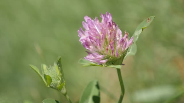 Shallow DOF red clover herbaceous specie plant in the field 4K