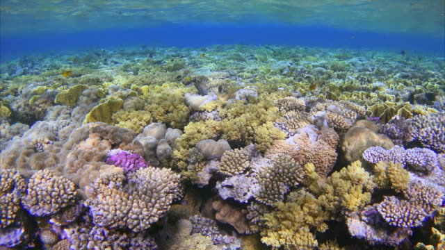Shallow water coral reef with lot of fisch on Red Sea Beautiful Coral reef with Damselfisch Red Sea / Egypt coral cnidarian stock videos & royalty-free footage
