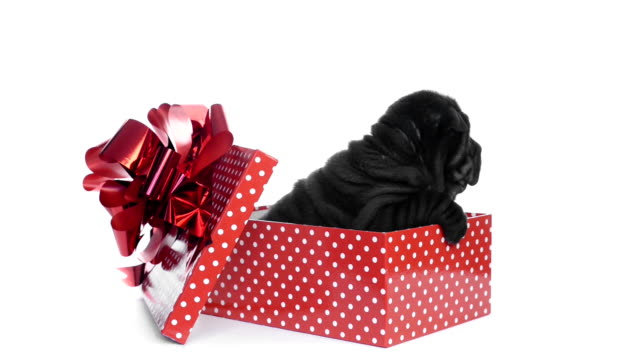 Shar pei puppy sitting in a gift box video