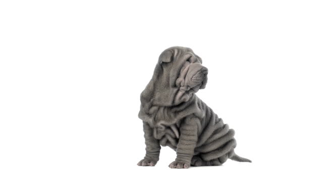Shar pei puppy yawning, sitting and looking around video