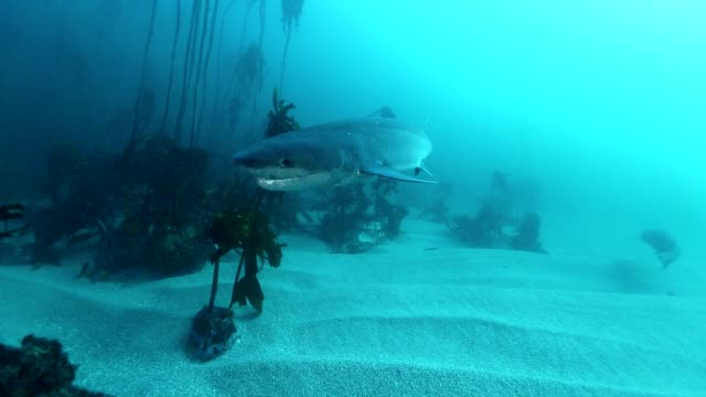 shark, seven gill or cow shark ,South Africa Underwater view of a seven gill or cow shark amongst the kelp forests in False Bay, Simonstown, South Africa. kelp stock videos & royalty-free footage
