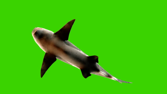 Shark swimming underwater, bottom view. 3d animation with a green screen.