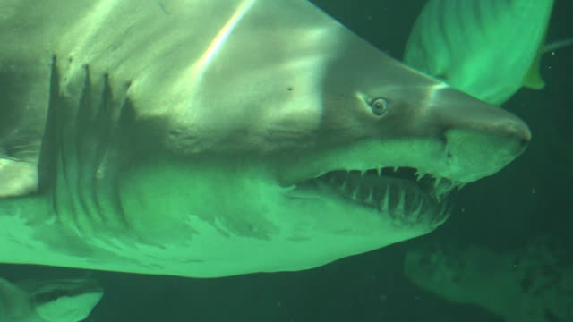 Shark Swimming Underwater With Sharp Teeth And Gills video