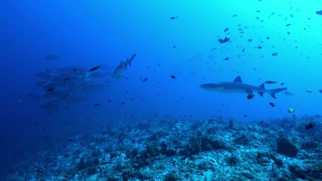 shark reef yiyecek bulmak kenarında yüzüyor. - etçiller stok videoları ve detay görüntü çekimi