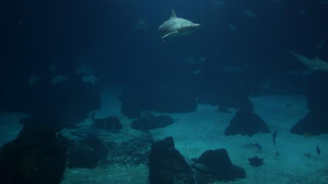 Sharks in deep blue water video
