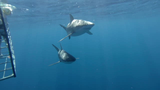 2 sharks yavaş hareket geçmiş kamera yüzmek - kafes sınırlı alan stok videoları ve detay görüntü çekimi
