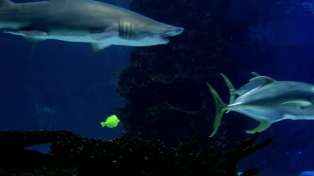 Sharks Swimming 06 video