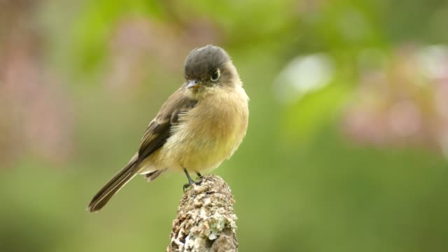 Video Sharp closeup of flycatcher bird on very blurry wild nature background