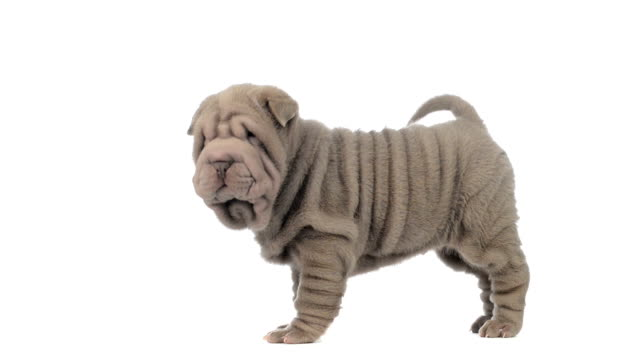 Sharpei puppy standing and looking around video