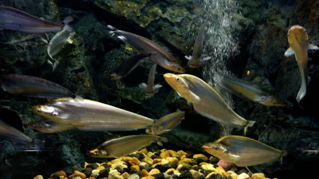 sheatfishes, siluridae fisch - süßwasserfisch stock-videos und b-roll-filmmaterial