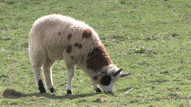 owca 5-hd 1080/30f - zachowanie zwierzęcia filmów i materiałów b-roll