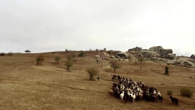 vídeos de stock, filmes e b-roll de ovelhas e vacas em pastagem - manada