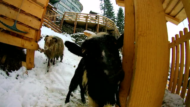 Sheep and goats in the winter are in the snow and looking at the camera video