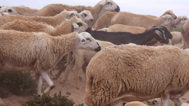 sheep and goats near the desert in morocco - ovino video stock e b–roll