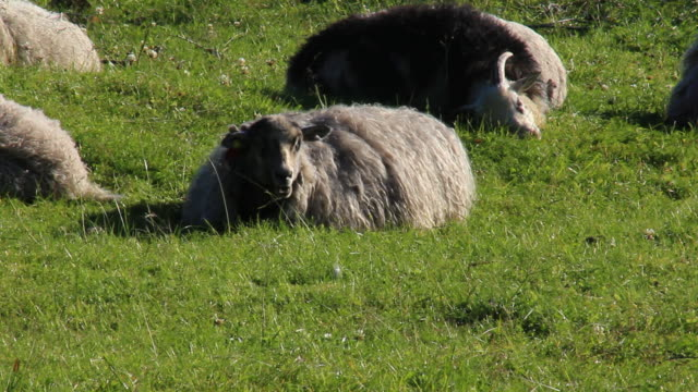 Sheep awaken in the morning. video