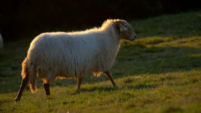 sheep beautiful ewe - ovino video stock e b–roll