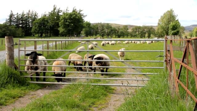 Sheep behind a gate video