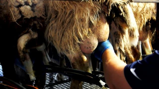 sheep being milked video
