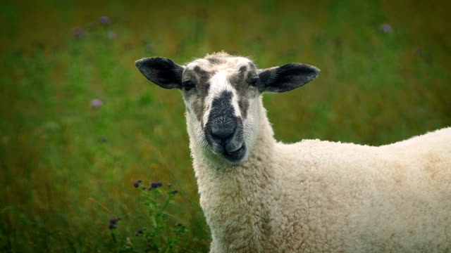 Sheep Chewing Grass Looks At Camera video
