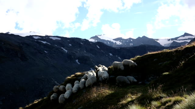 Sheep descend grassy meadow below mountains video