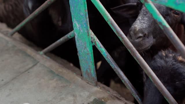 le pecore mangiano dalle mani umane - arto umano video stock e b–roll