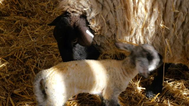 Sheep ewe licks her lamb after giving birth in barn