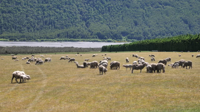 Sheep Farm in New Zealand video
