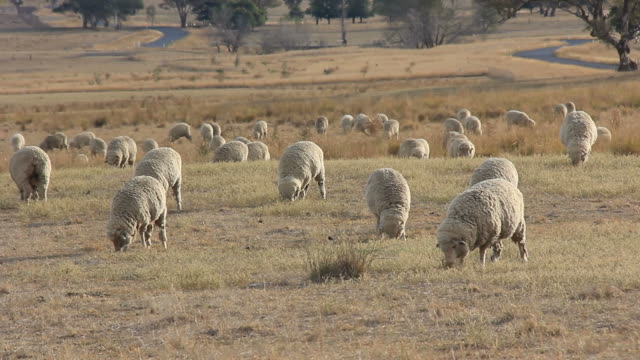 Sheep Farming Agriculture Rural Landscape Australia video